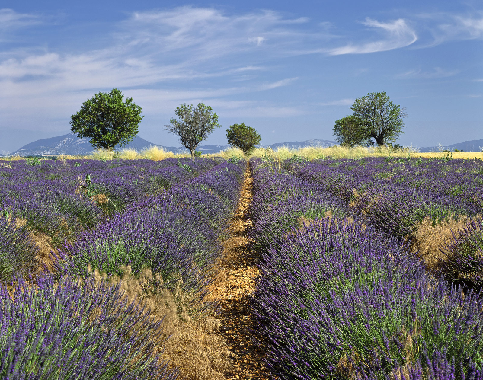 The best quality and most aromatic lavender grows on the high plateaus of the Provencal plains. It is dry and has plentiful...