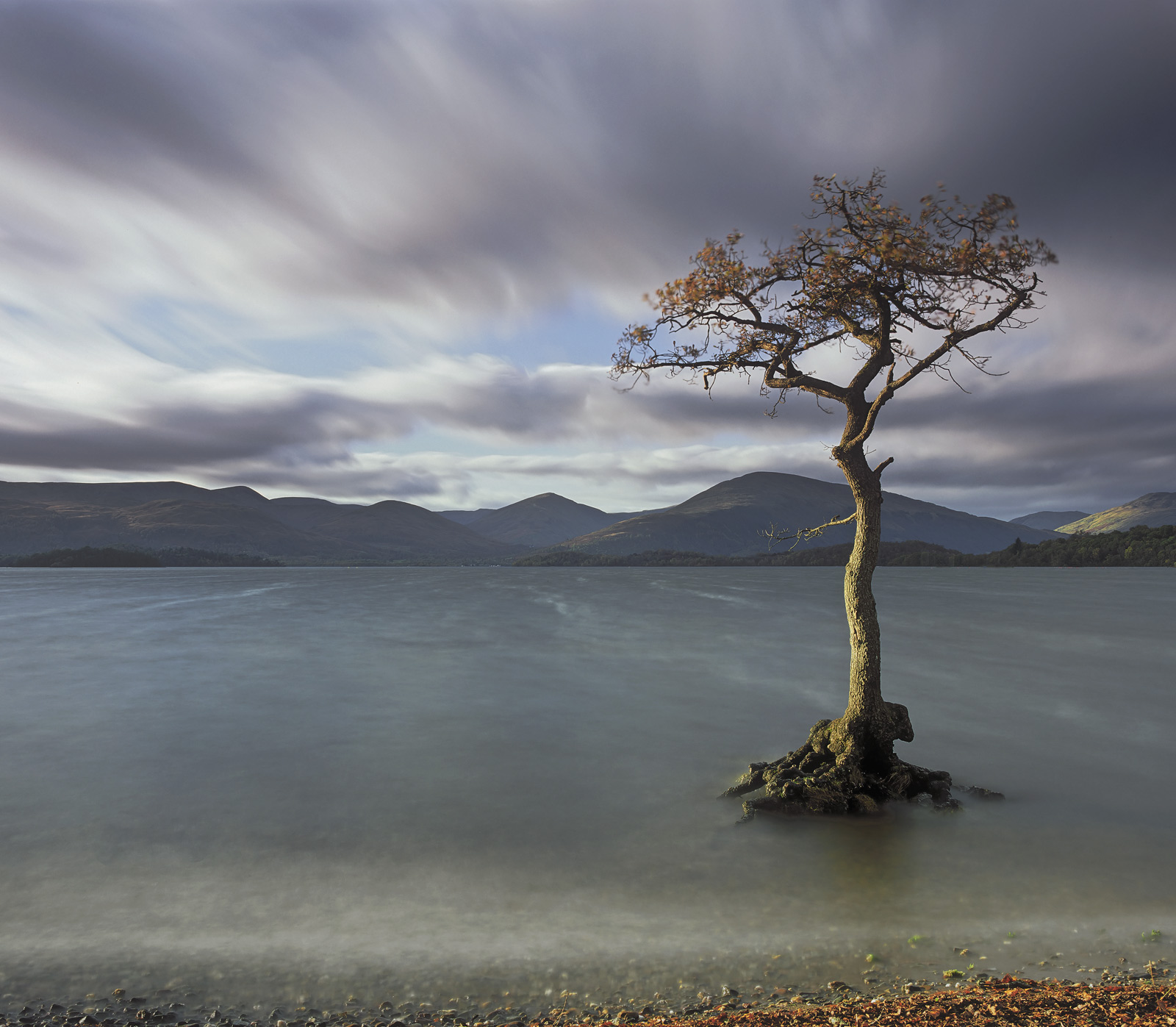 This gorgeous little tree just occasionally gets marooned in the waters of Loch Lomond during a bout of extremely wet weather...
