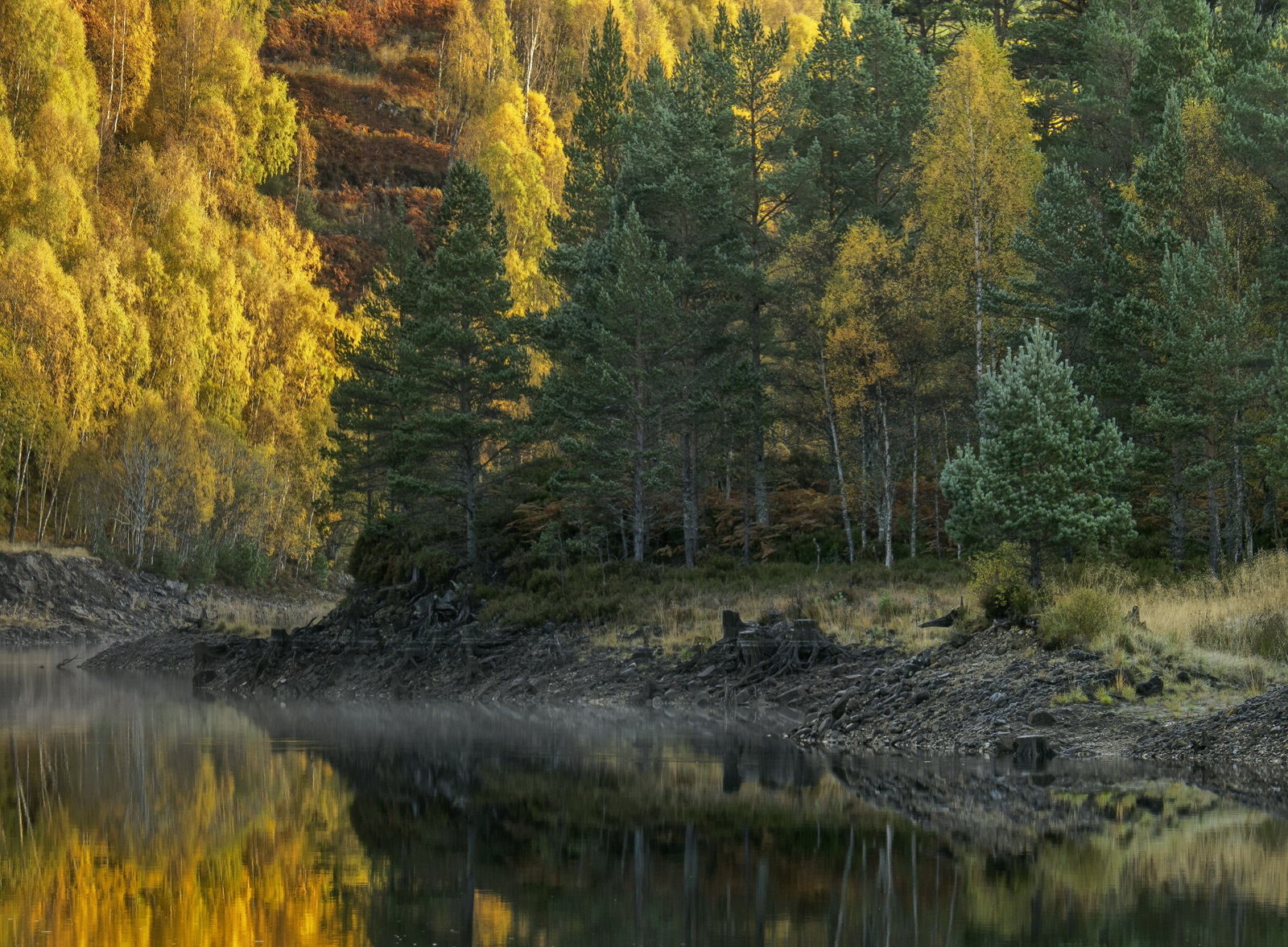 Flaming golden birch in full autumn colour border the lochside around the lochs at Glen Affric, the water however is being kept...