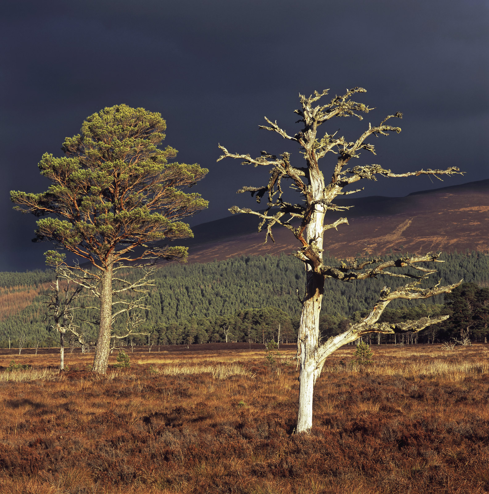 Two scots pines one very much alive and loaded with needles the other dead, just thebare bones of old twisted branches...