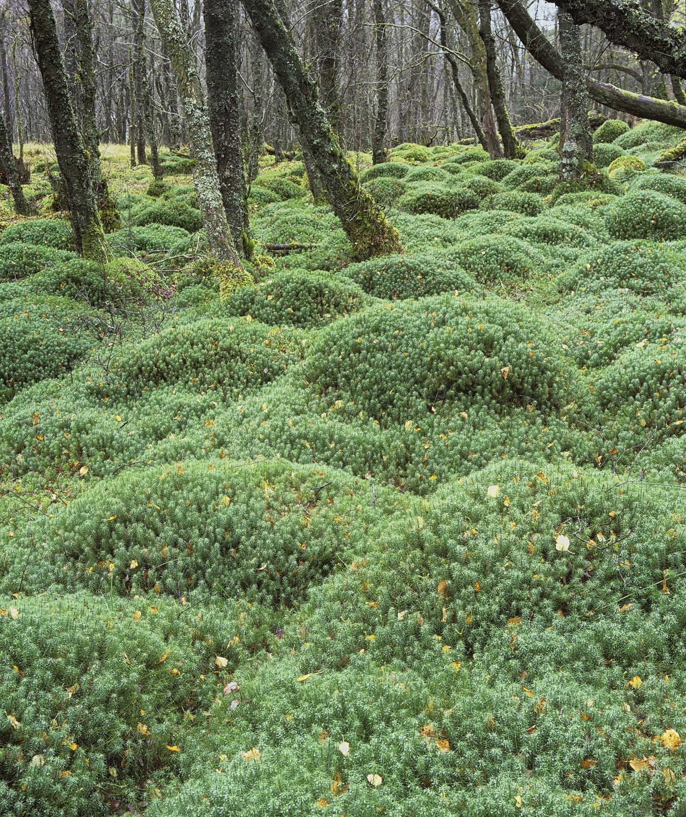 Like a lumpy old mattress this wonderful bed of spongy star moss had covered over the roots of old silver birch trees in this...