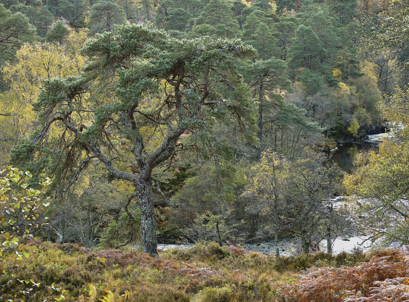 Native Woodland Strathfarrar, Strathfarrar, Highlands, Scotland, scots pine, birch, golden, canopy, tortured, twisted li, photo