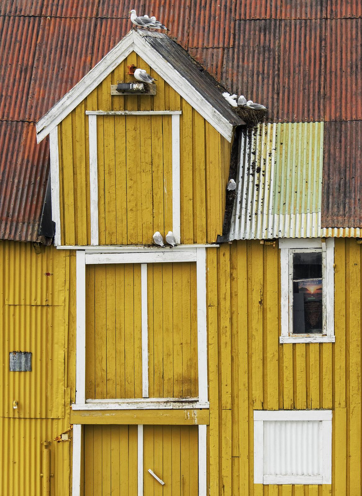 Nusfjord kittiwake, Nusfjord, Lofoten, Norway,coloured, houses, rorbrua, harbour, nest, seagull, refuge, nook, cranny , photo