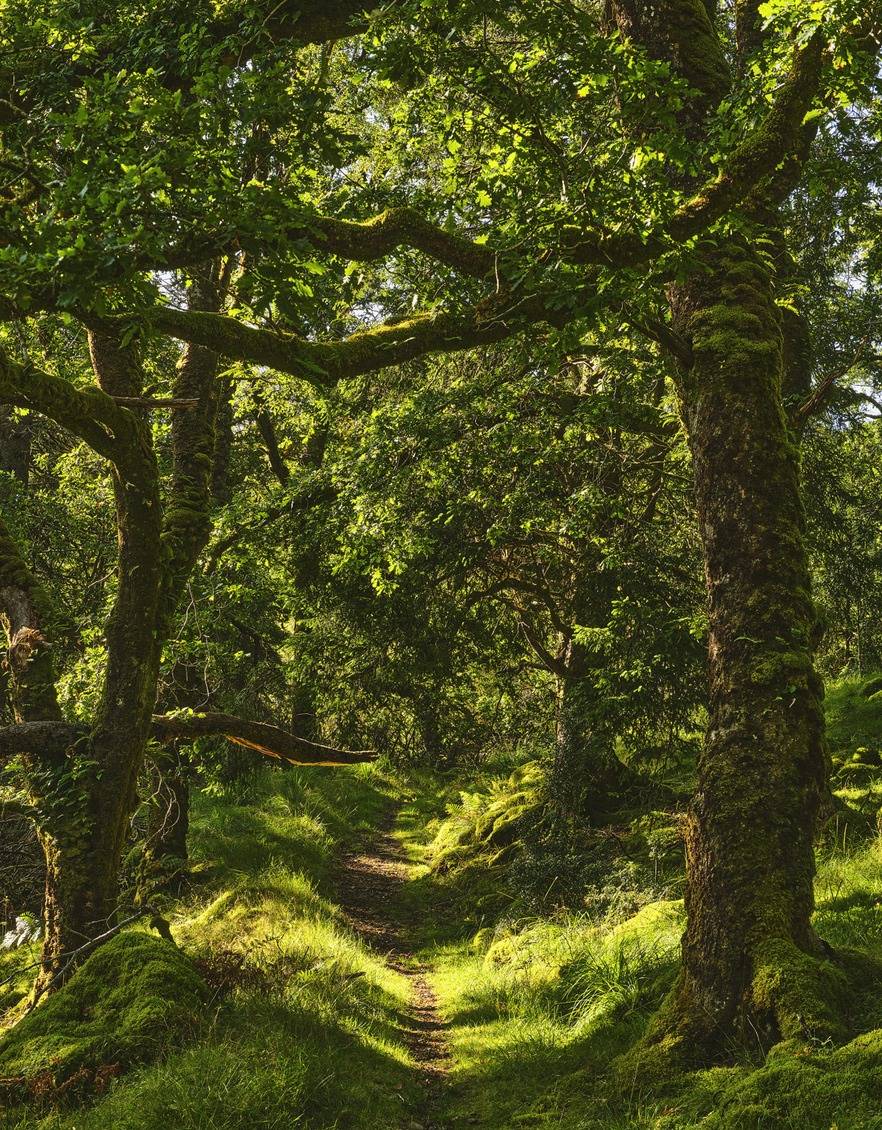 An enchanting path leads through a cathedral of green formed by the ancient oaks in Ariundle Woods in Ardnamurchan. I waited...