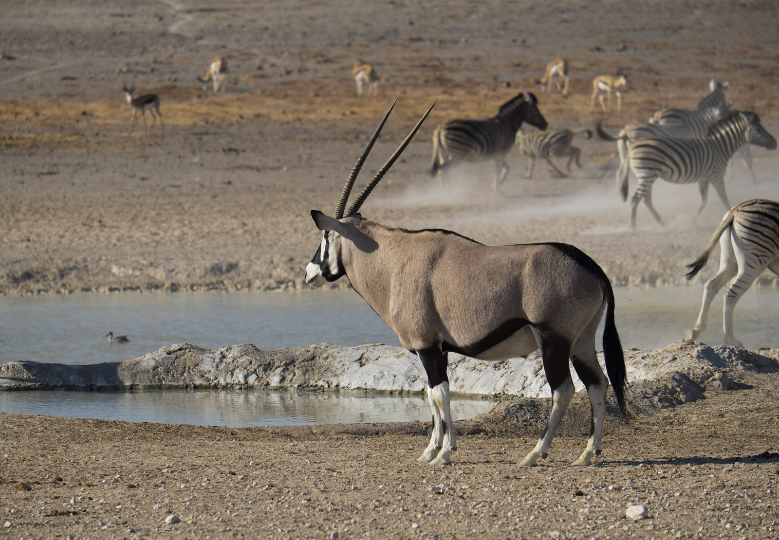 Waterholes are always crammed with animals trying to escape the midday heat and although the Oryx are amongst the hardiest animals...