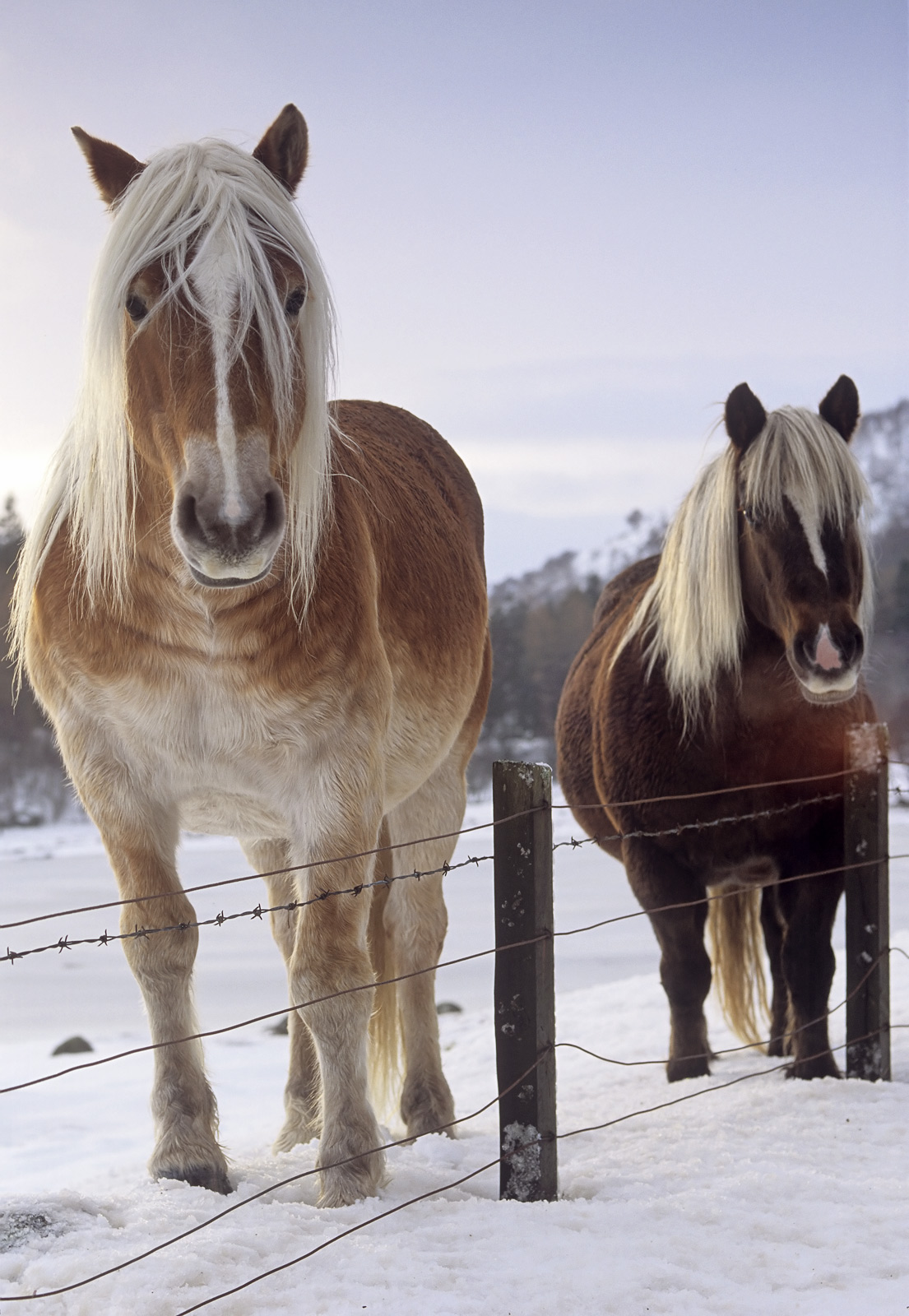 On a winters day around Loch Ness I spied these two beautiful horses one a witha rich chestnut coat and a fabulous blond...