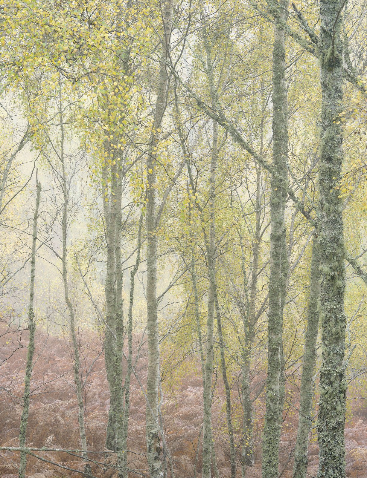 Pastel Birch Wood tapestry, morning, productive, mist, sunlight, backlit, permeating, mist, damp, autumnal, bracken, photo