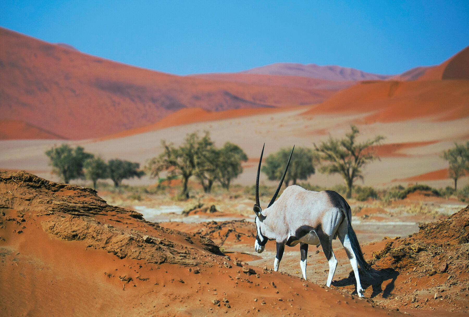This is the other picture of the Gemsbok that I am most pleased with.  The lighting is beautiful and the surreal nature of the...