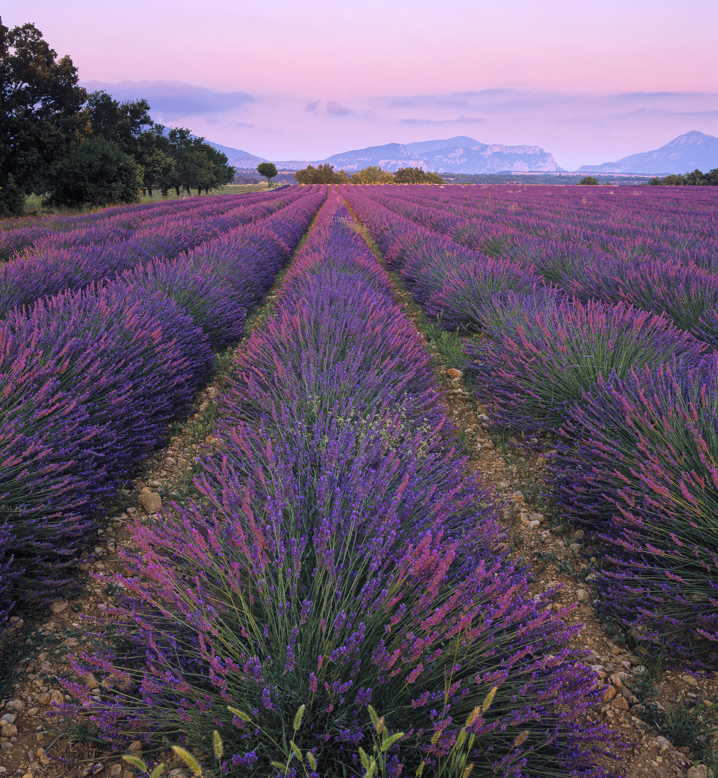 The last vestiges of the setting sun graze the tops of the lavender causing them to flare pink before slowly turning lavender...