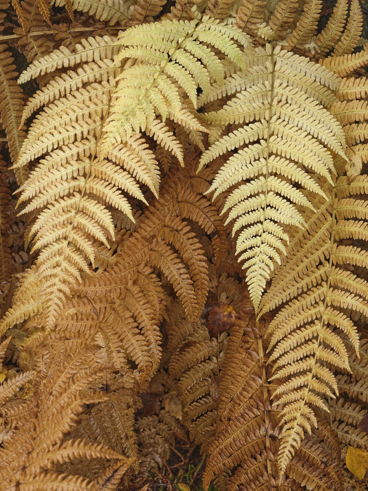 Phase Change Ferns, Glen Affric, Highlands, Scotland, natural, stone, wall, delicate, nutrient, elegant, sheltered, loam, photo