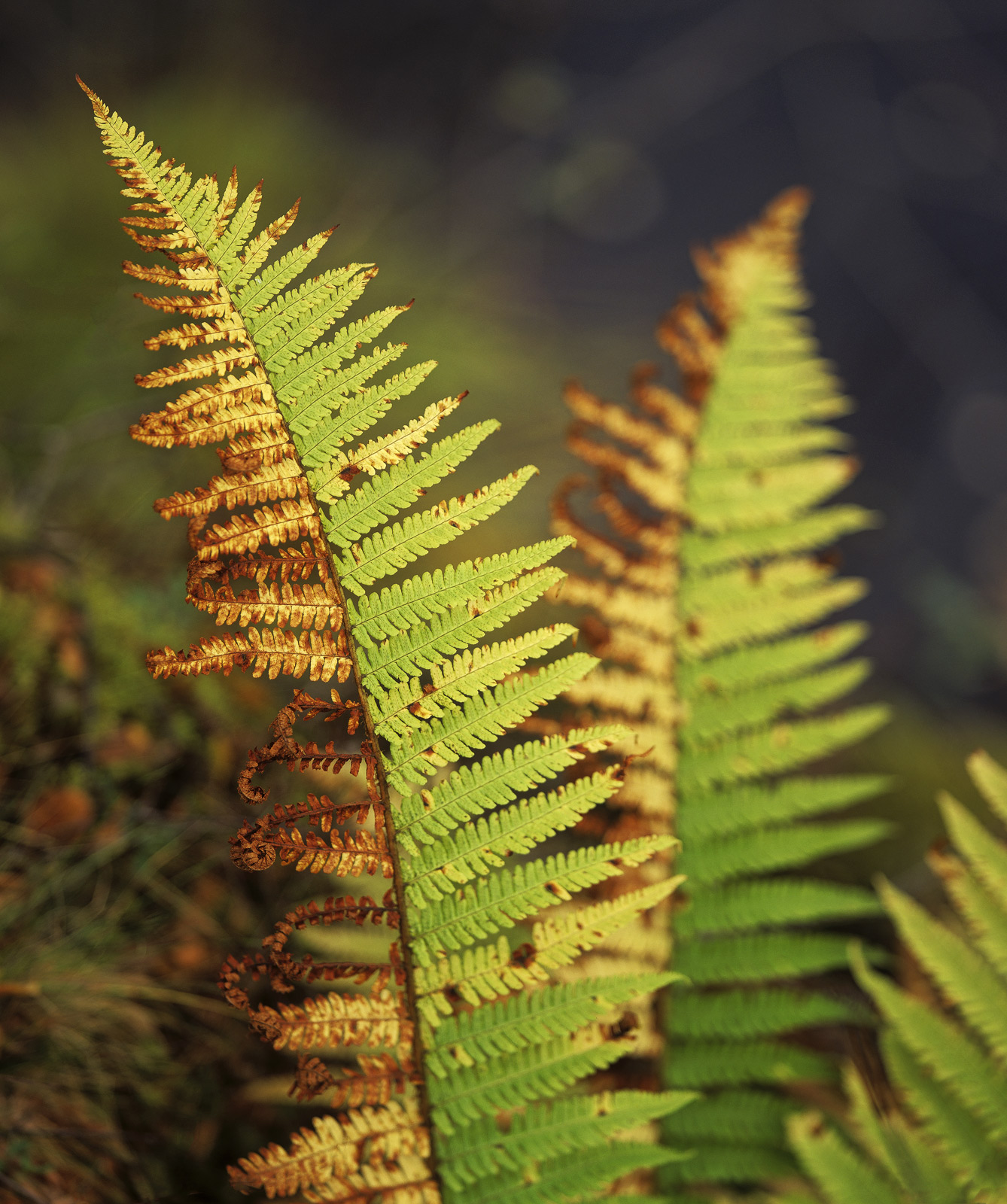 I came across these two wonderful schizophrenic bracken fronds with an autumnal split in colouration right along the length of...