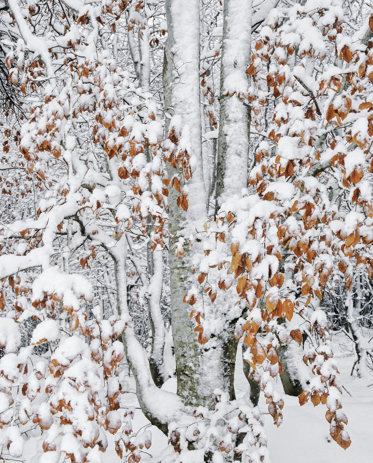 Early wet snow clings to the branches and left over russet brown leaves of a Beech tree that refuses to shed its Autumnal gown...