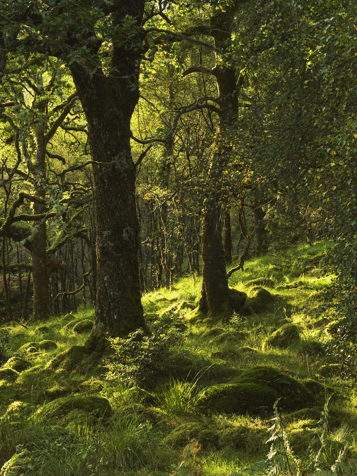 Sessile Oakwoods, Ariundle Woods, Ardnamurchan, Scotland, forest, oak, gnarled, twisted, fresh, green, mossy, trees, ric, photo