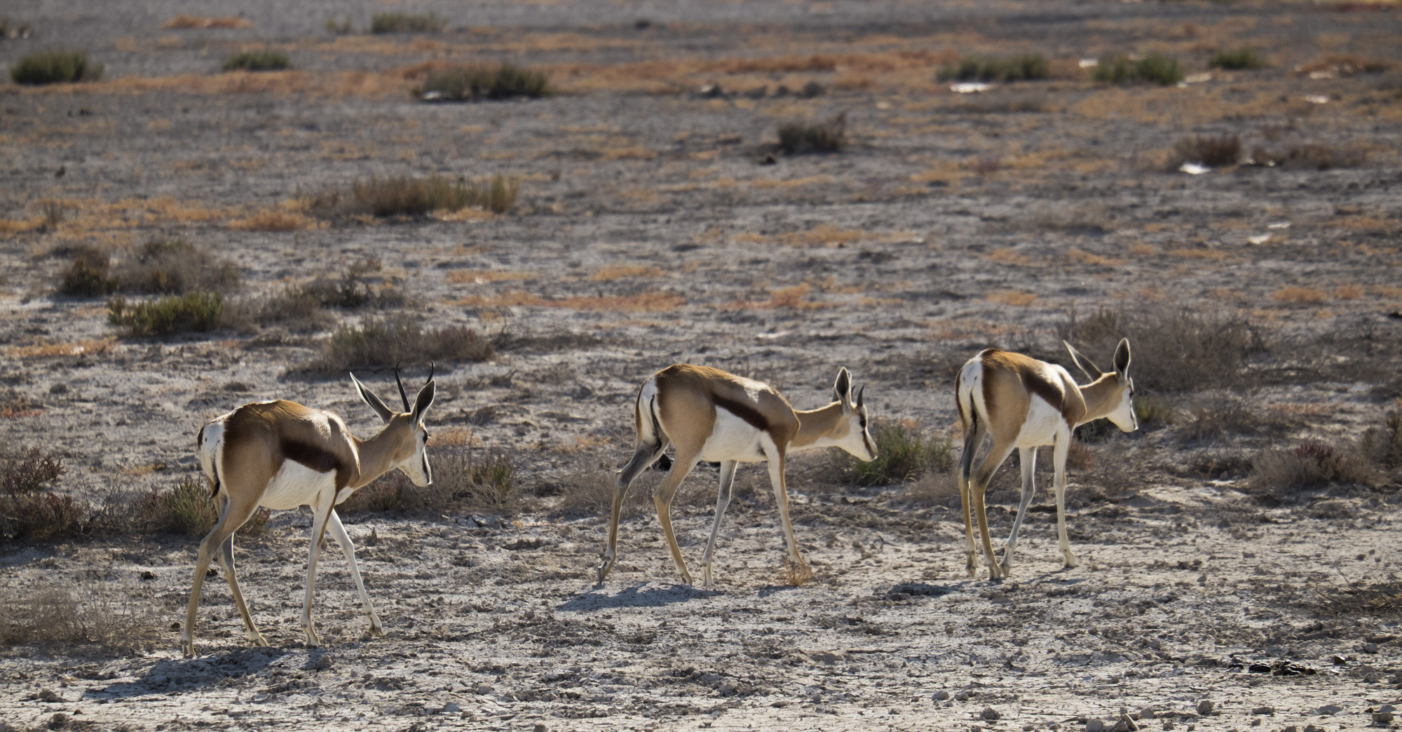 By far the most numerous of the animals in the various game parks were the Springbok, which since they are rather far down the...