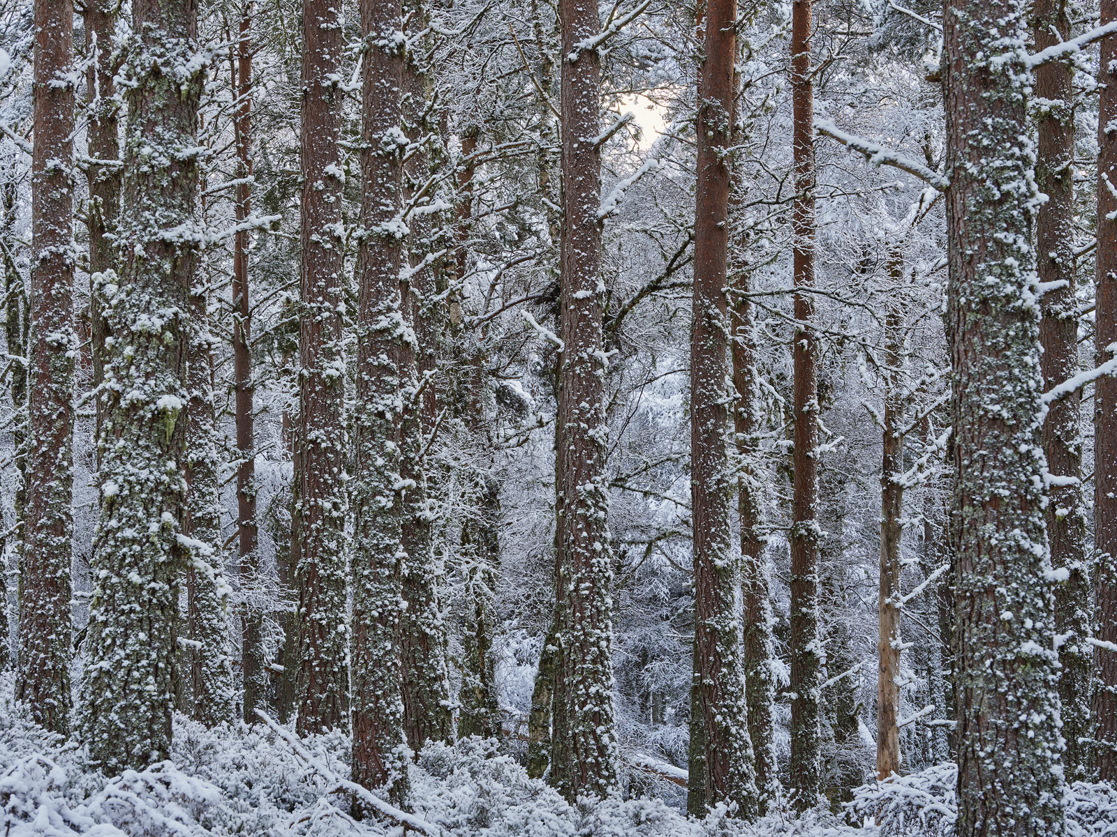 Pine woods are not usually my first choice to visit the uniform stands of trees are densely packed and little light manages to...