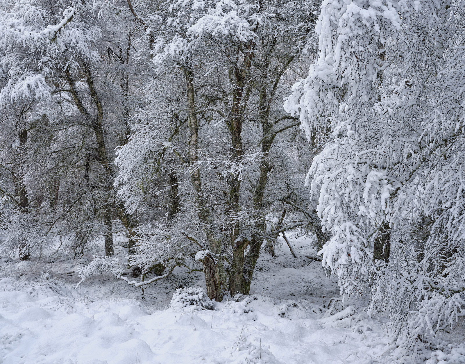 Heavy snow coated every tree in the forest near Glenferness House and whilst most were pine there was a substantial amount of...