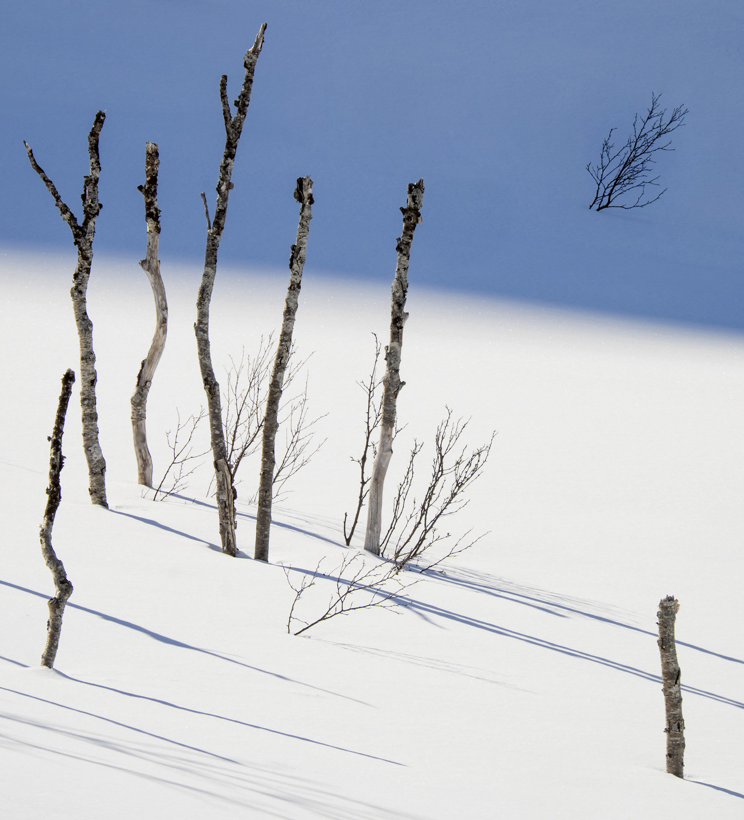 Birch staves almost buried by around eight feet of soft drifted snow beneath a laser blue sky high in the Anderdalen national...