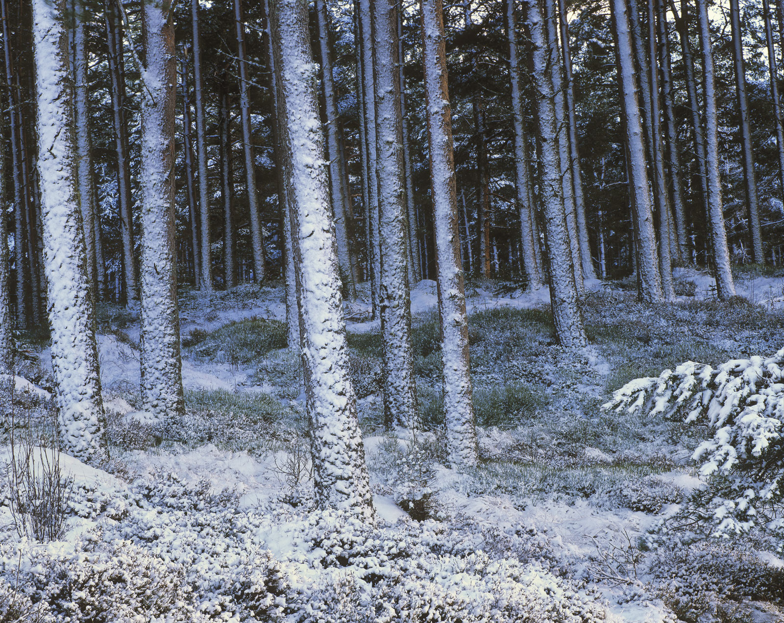 Snow Dusted Pines, Dava Moor, Moray, Scotland, plastered, snow, sunlight, periphery, woodland, grove, palette, muted, bl, photo