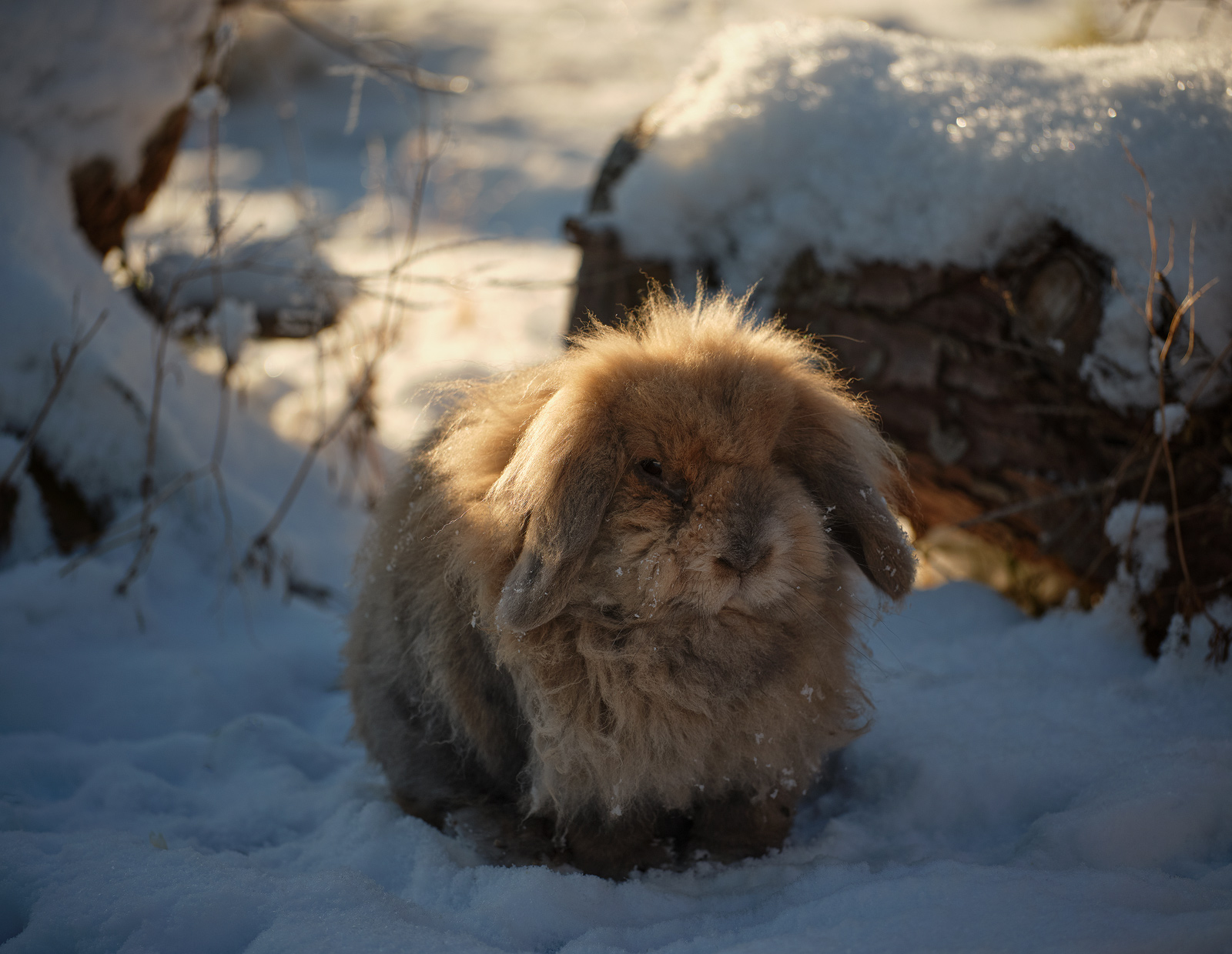 Snow Shoe Toffee, Dallas Dhu, Moray, Scotland, winter, weather, garden, rabbits, snow, fur, backlit, warm, sunshine, whiskesrs...