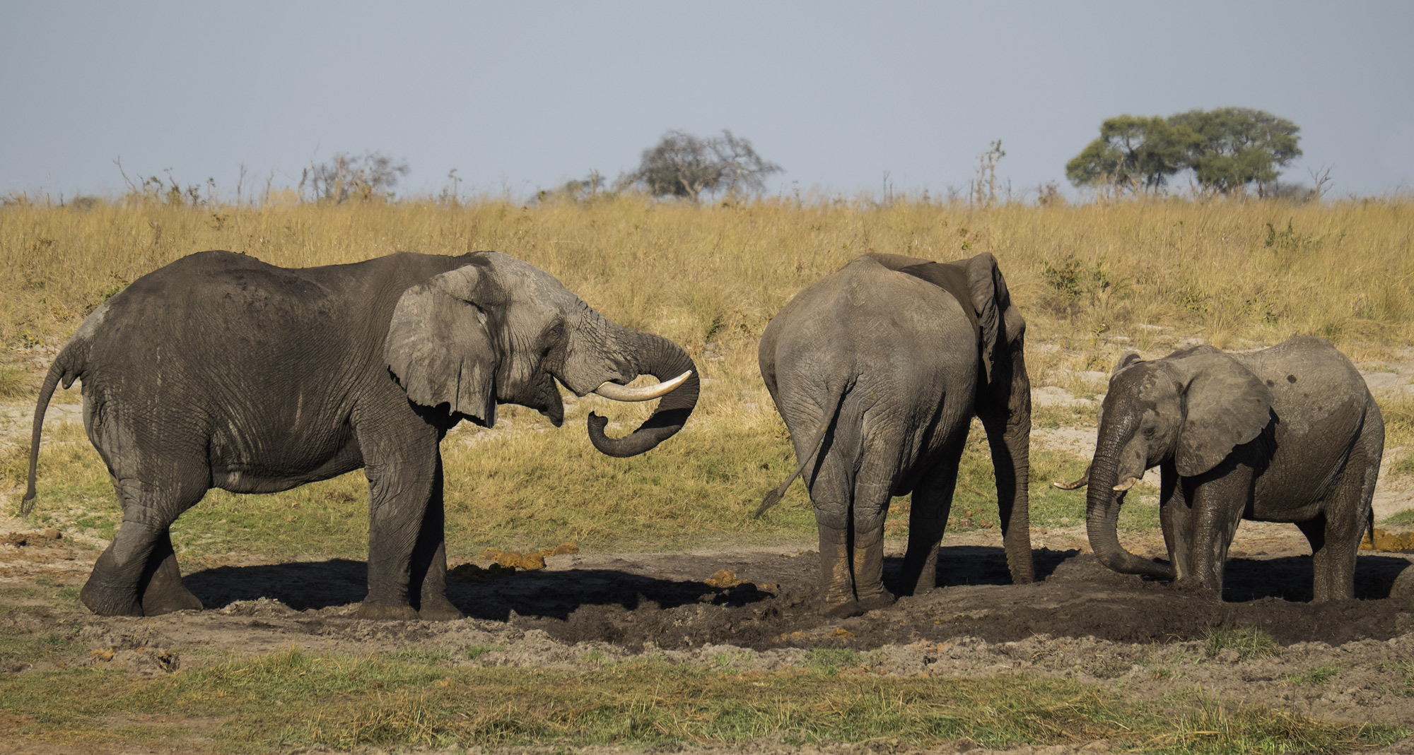 Snubbed, Elephant Sands, Botswana, Africa, greeting, watering hole, three, herd, roaming, young, bulls, sparring  , photo