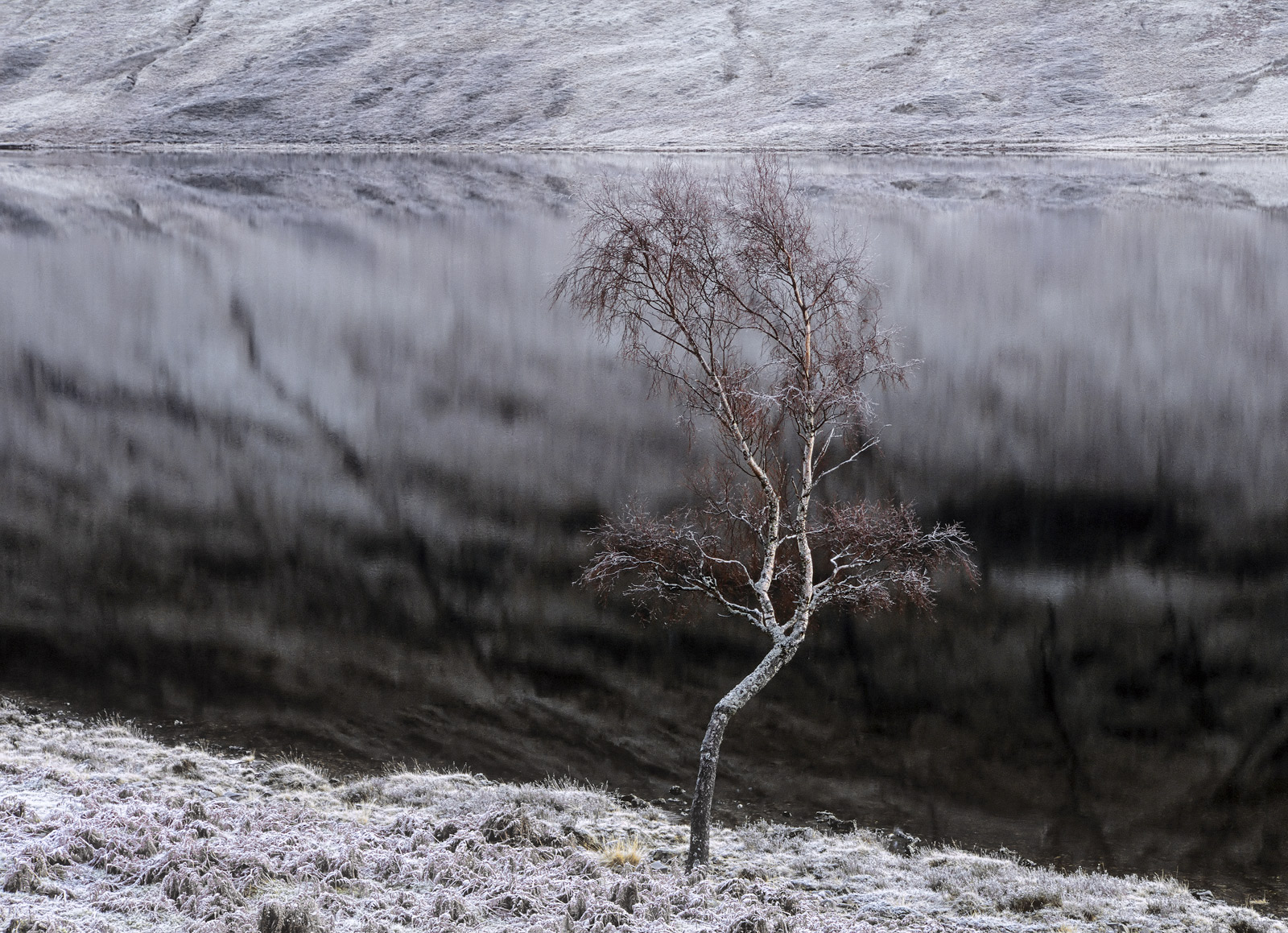 A single solitary birch tree tipped with rust red twigsstands by Loch A Chroisg with an immaculate mirror smooth reflective...