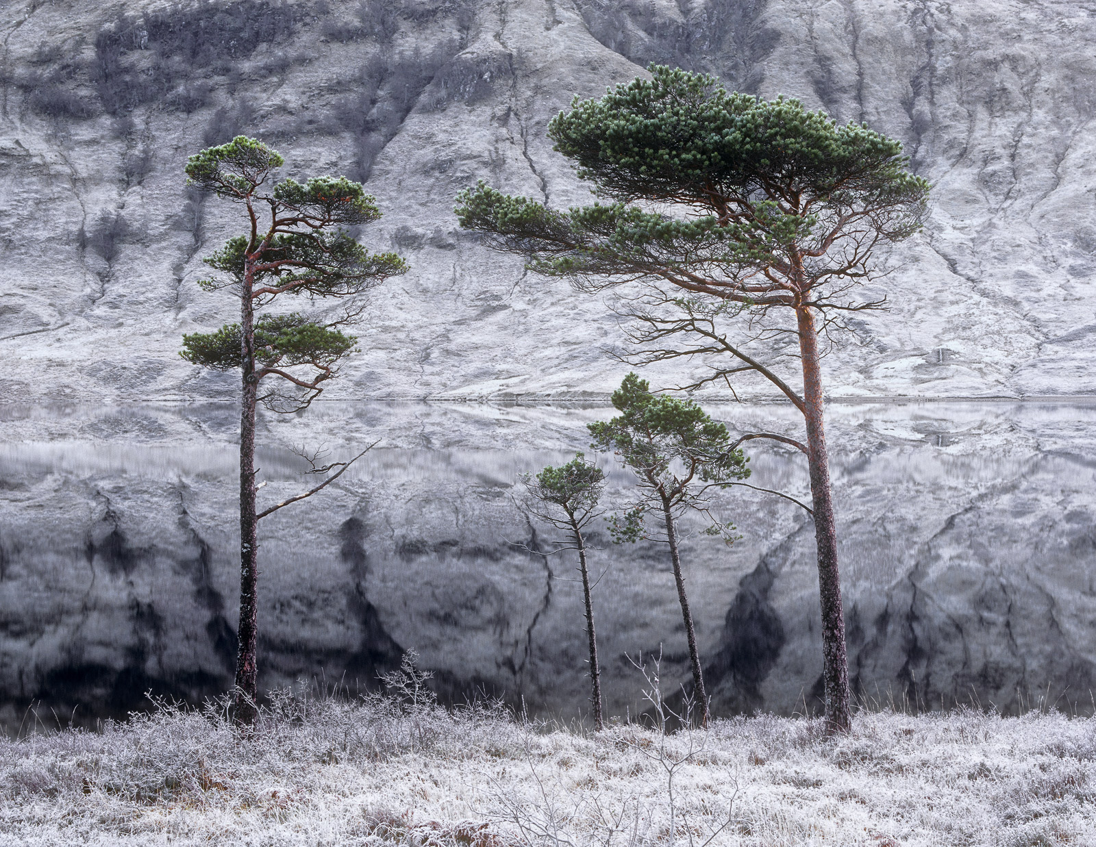 A little family of straggly Scots pine at the edge of deep frosted Loch a Chroisg. The trees alone seem to have escaped...