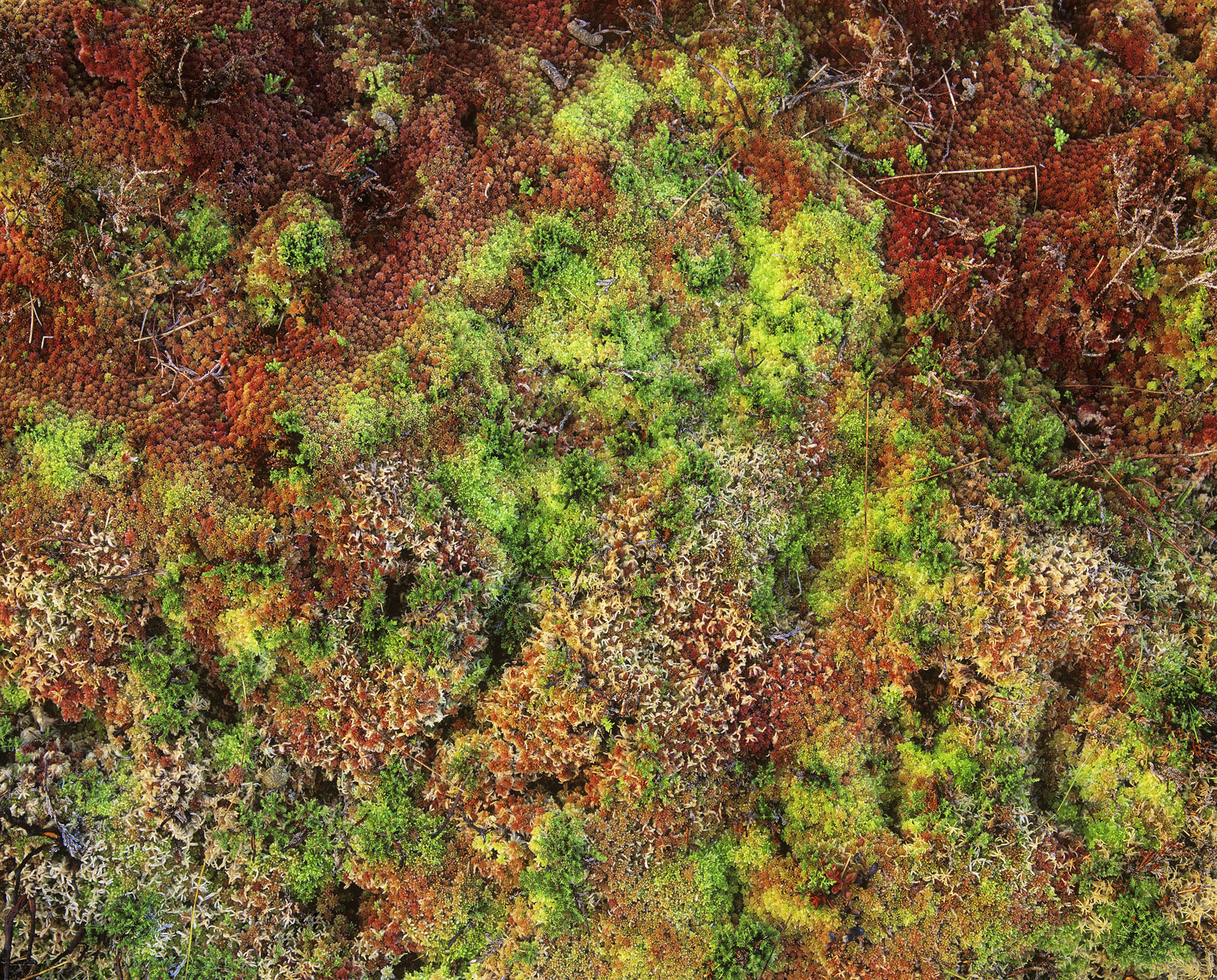This amazing spongy carpet of intense and contrasting colour covers Dava Moor. During the autumn months the colour&nbsp...