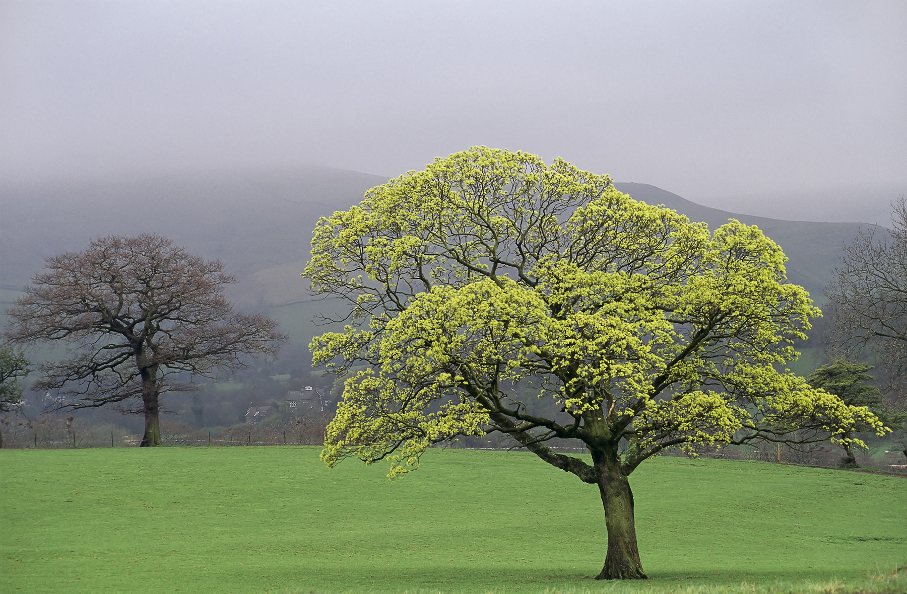 This was the very first of the big trees to simply burst with life near the village of Castleton in the Peak District....
