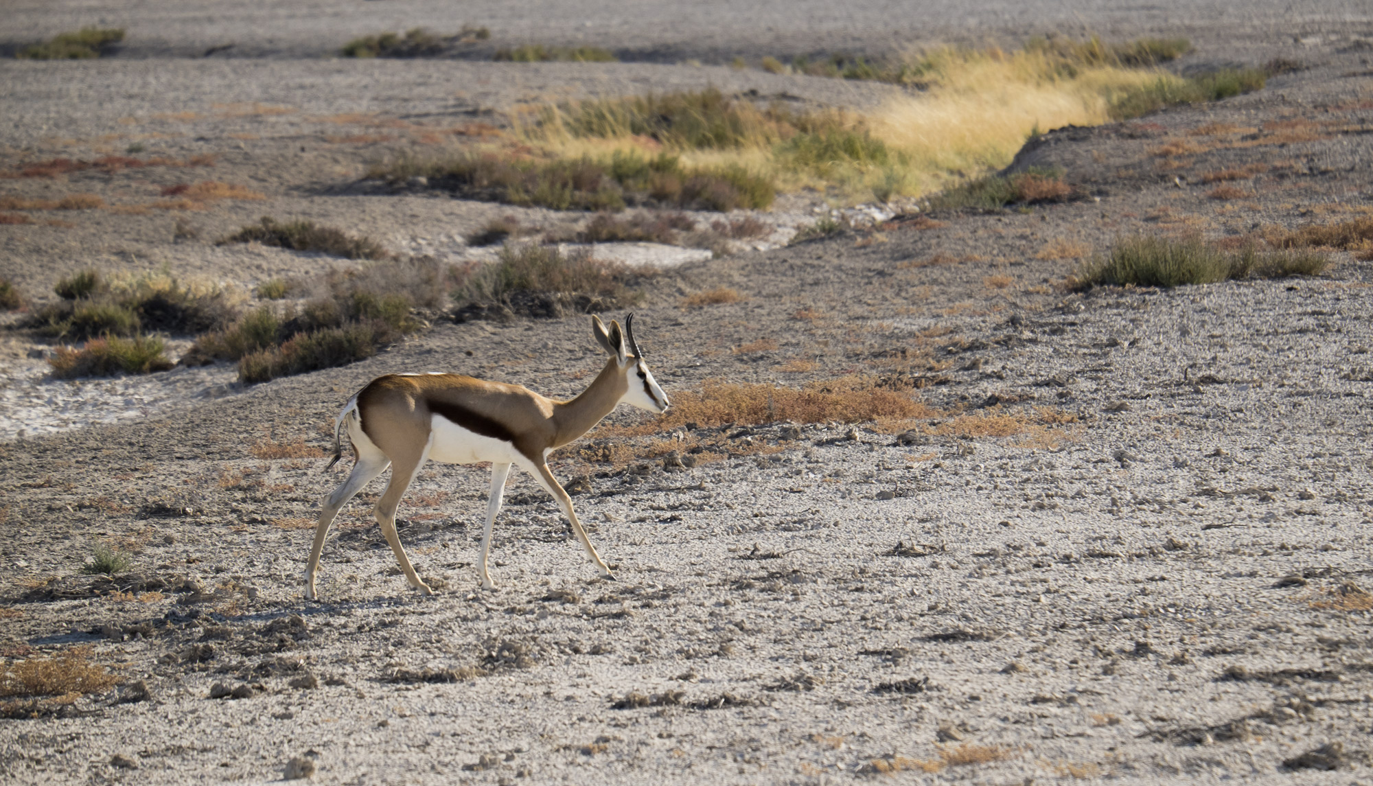 This elegant creature is a Springbok, it's at the bottom of the food chain and on the menu for most wildlife in the Etosha game...