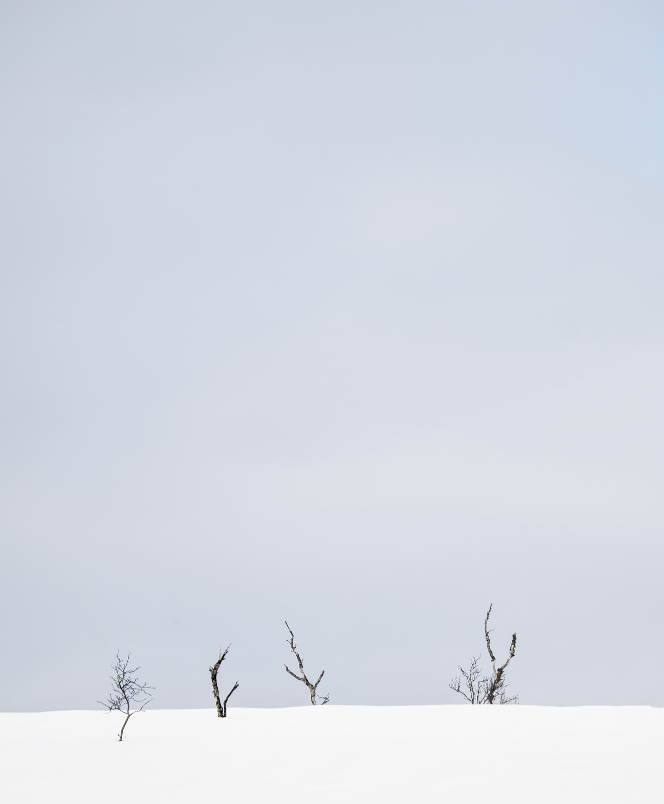 Four straggly birch snags struggling for light above deep drifted snow near the Hunbora region on Senja Island. I loved...
