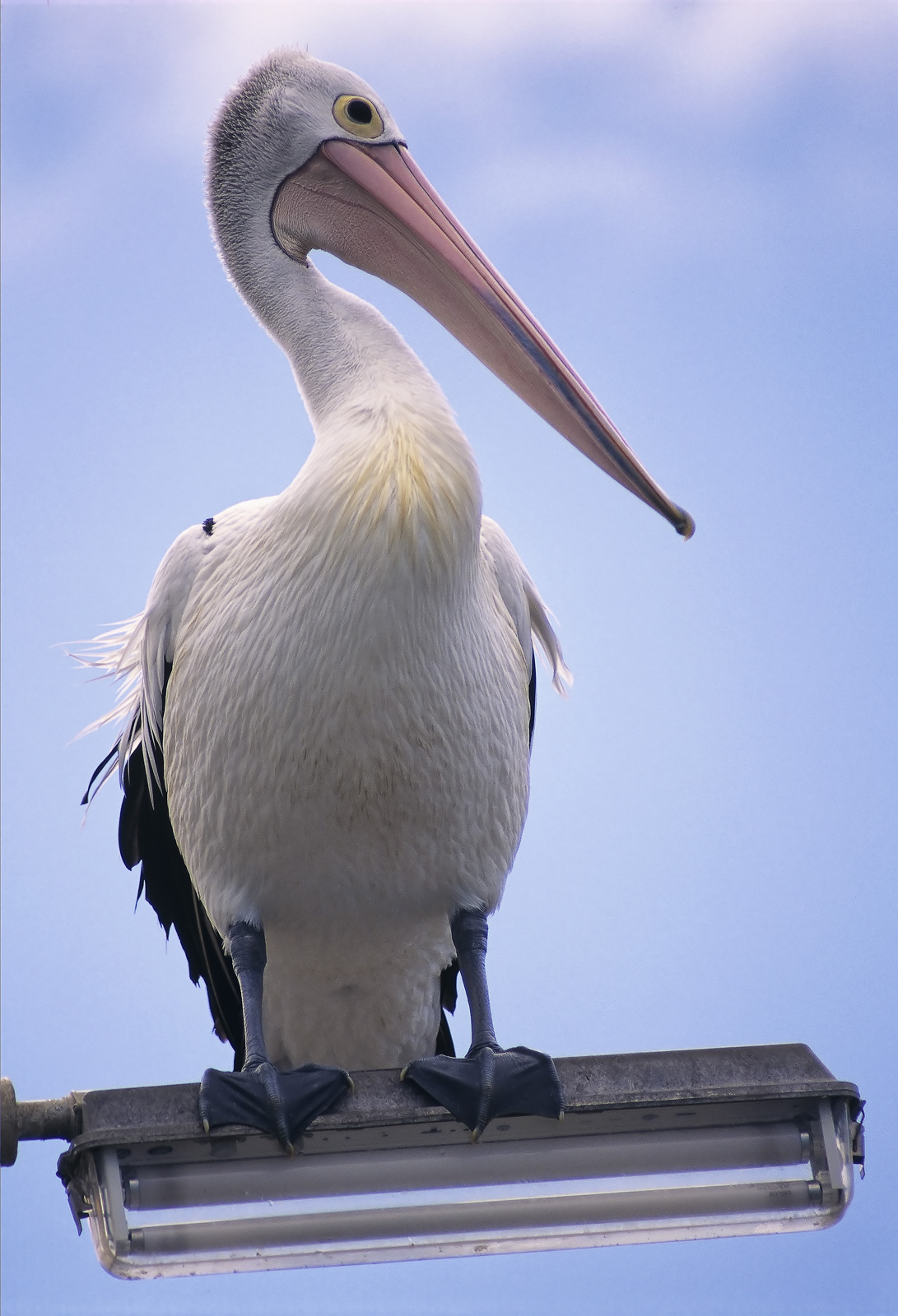 There were quite a few pelicans around this area but this one really caught my attention when it landed on top of a street lamp...
