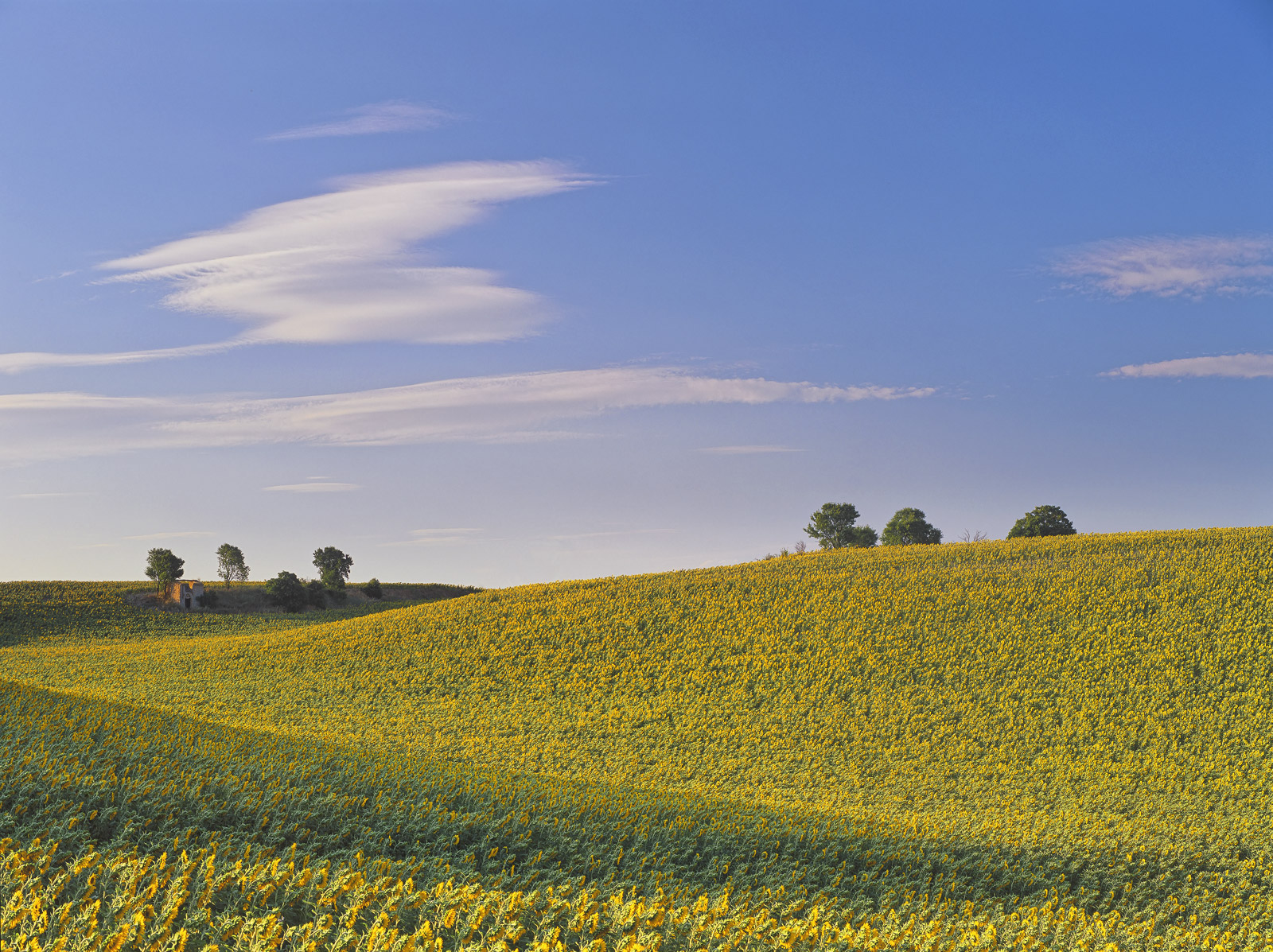 Along with the fields of lavendar that can be seen around the Provencal town of Valensole are the sunflower fields. Sometimes...