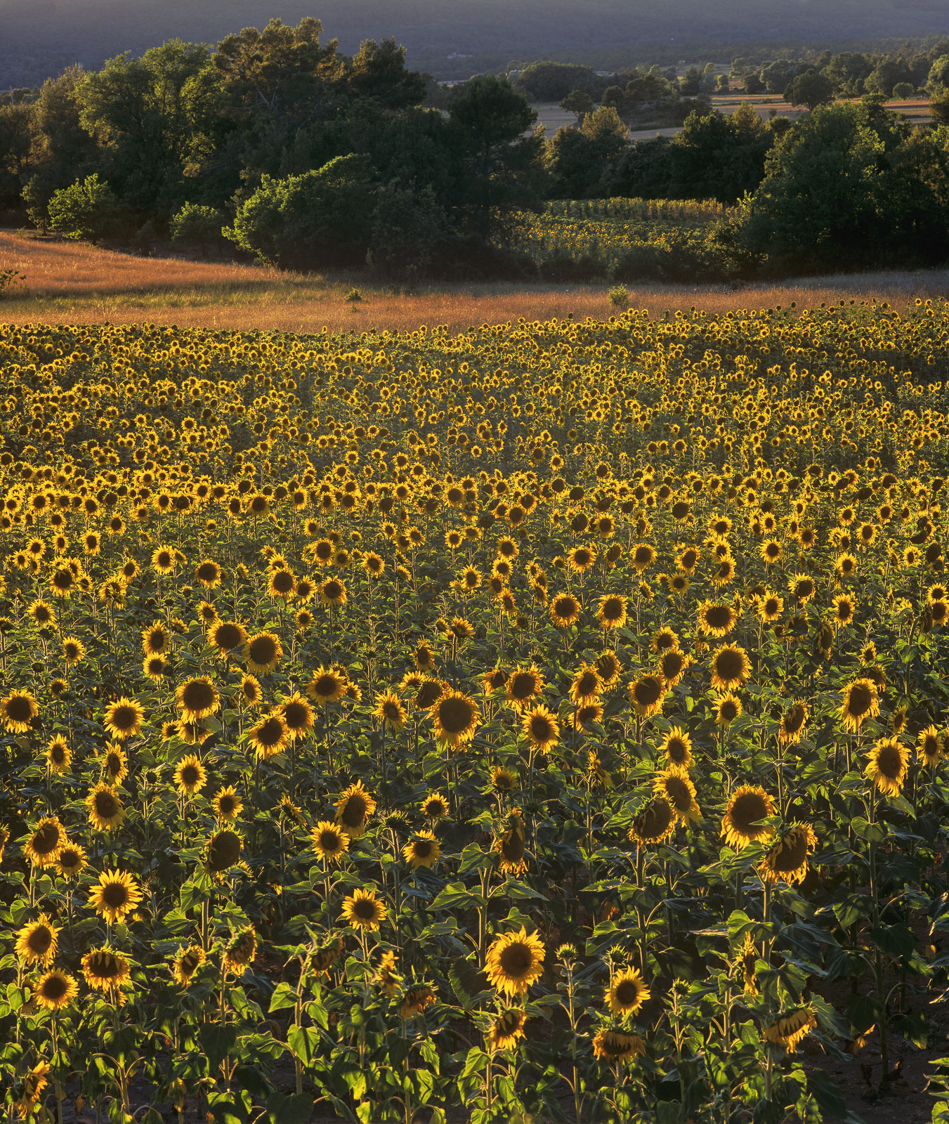 Fields of nodding sunflowers just outside the French village of Aups have turned their sunny faces away from the setting sun.&...