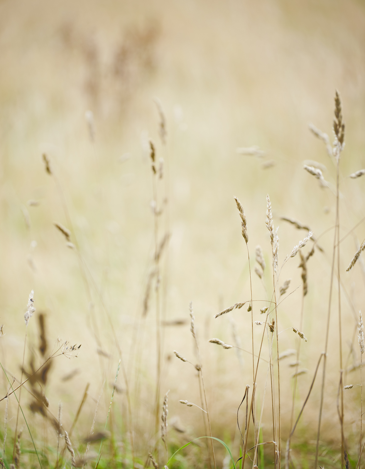 A soft summer haze of slender grasses ripening in a field behind our house at the Dallas Dhu Distillery.