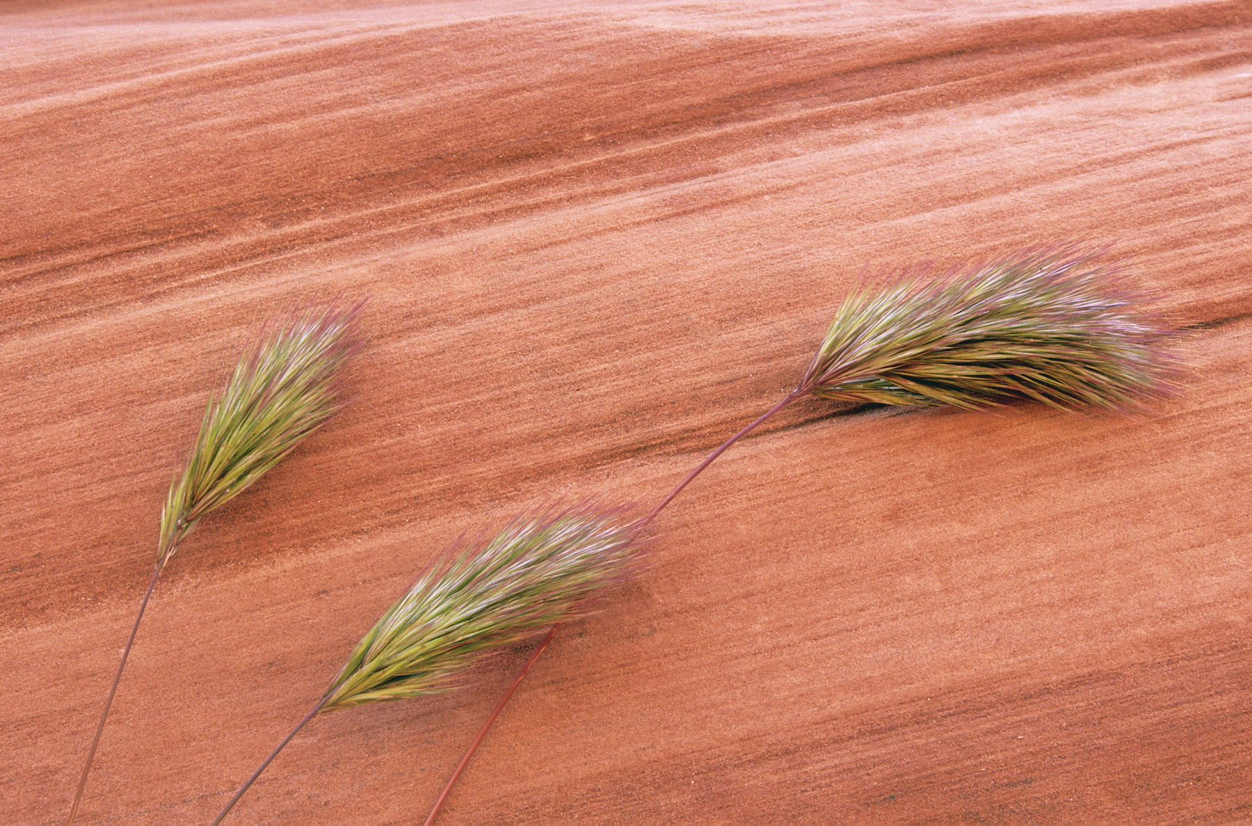 Three little ears of grass blowing against some striated red sandstone bedrock at the entrance to Antelope canyon. I thought...