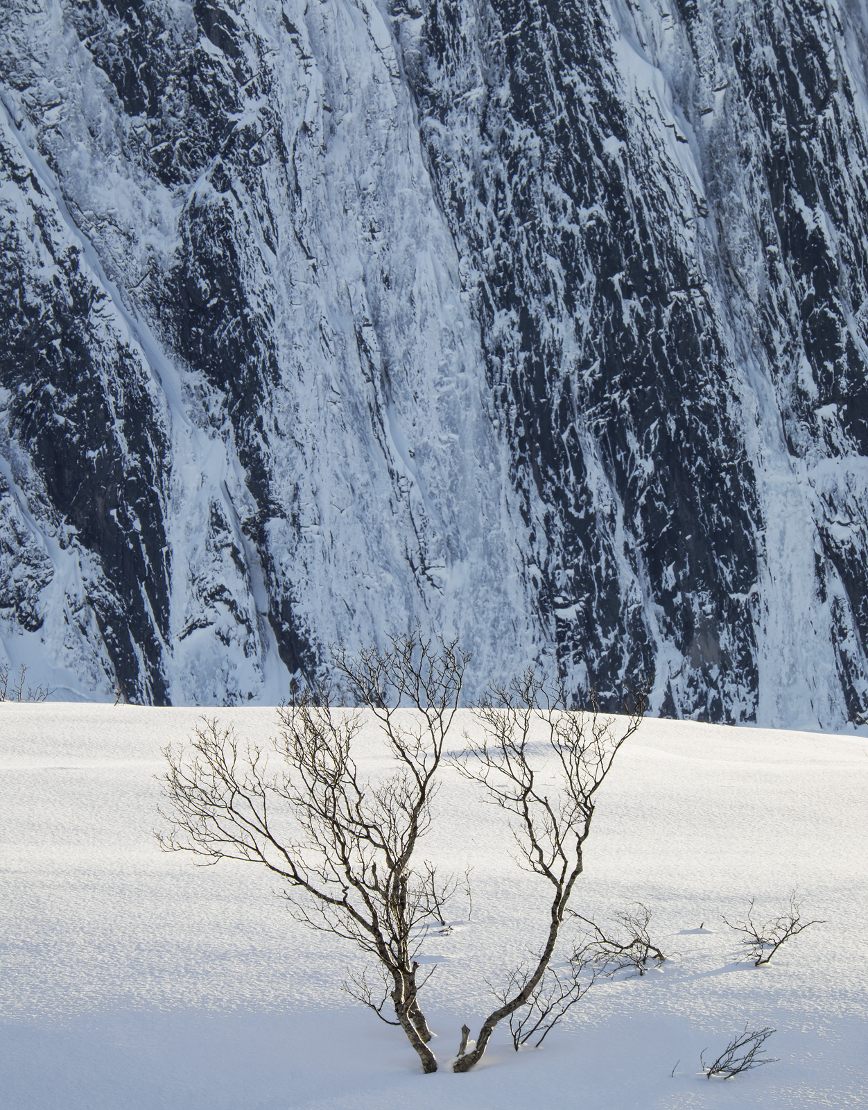 A distant birch tree high on the Eidet plateau near fjordland in Senja rooted in the blue shadow of a sloping slab of sun drenched...