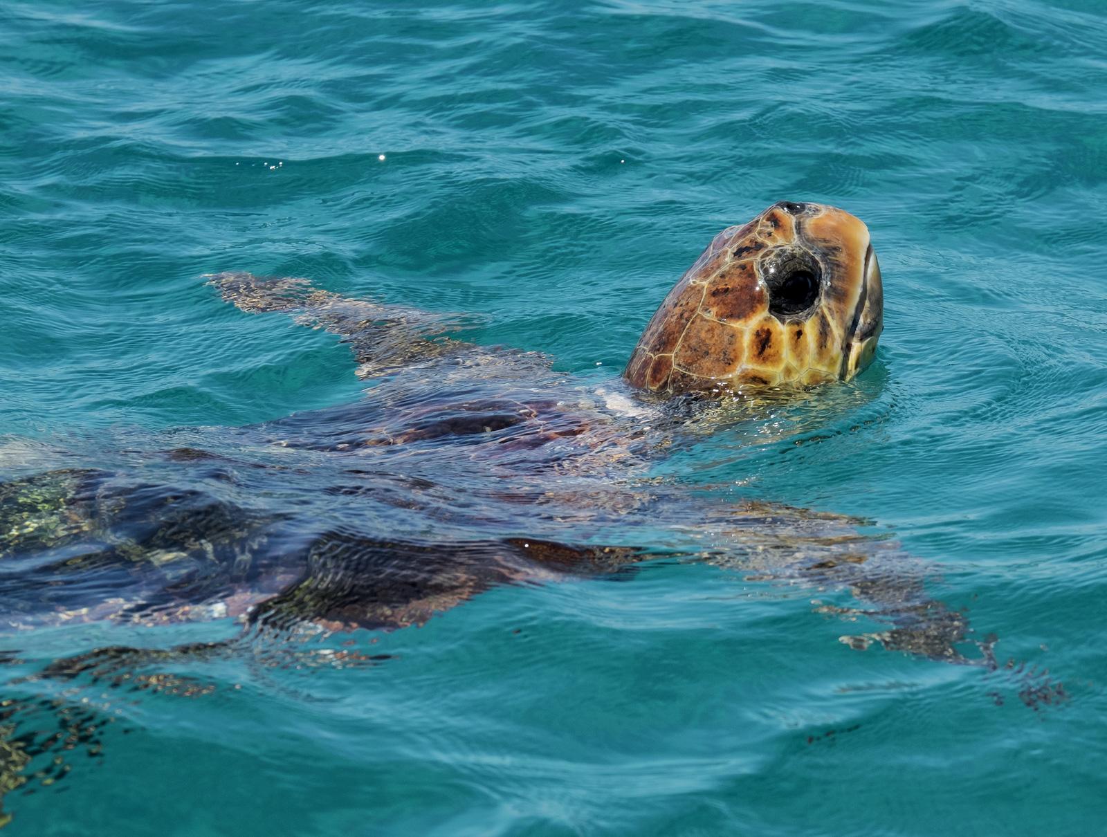 Turtle Zakynthos, Turtle Island, Zakynthos, Greece, Greek, islands, turtles, caves, rising, breath, dived, Loggerhead, n, photo