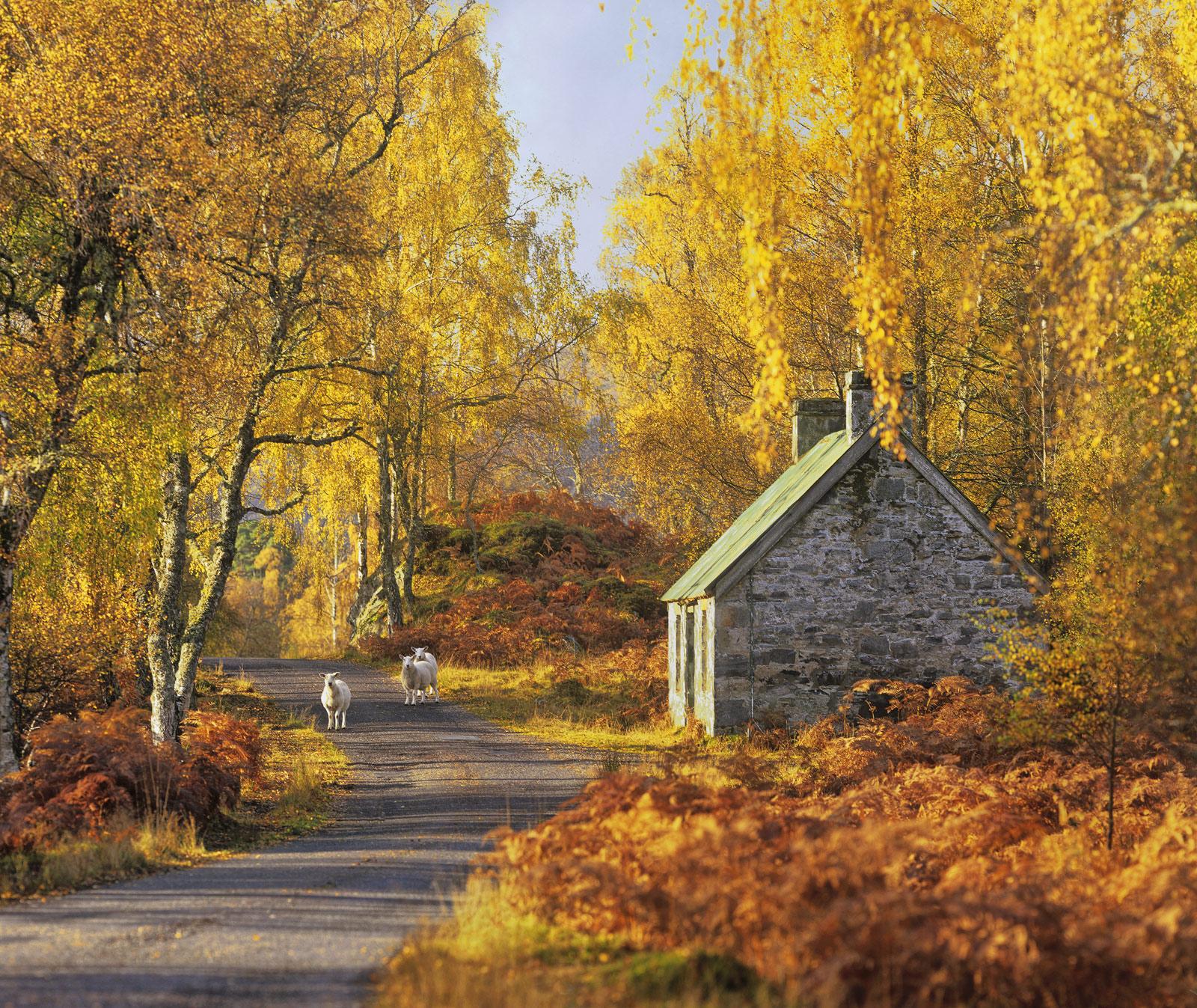 Wary Travellers, Strathfarrar, Highlands, Scotland, autumnal, birch, russet, golden, sheep, three, idyllic, photo