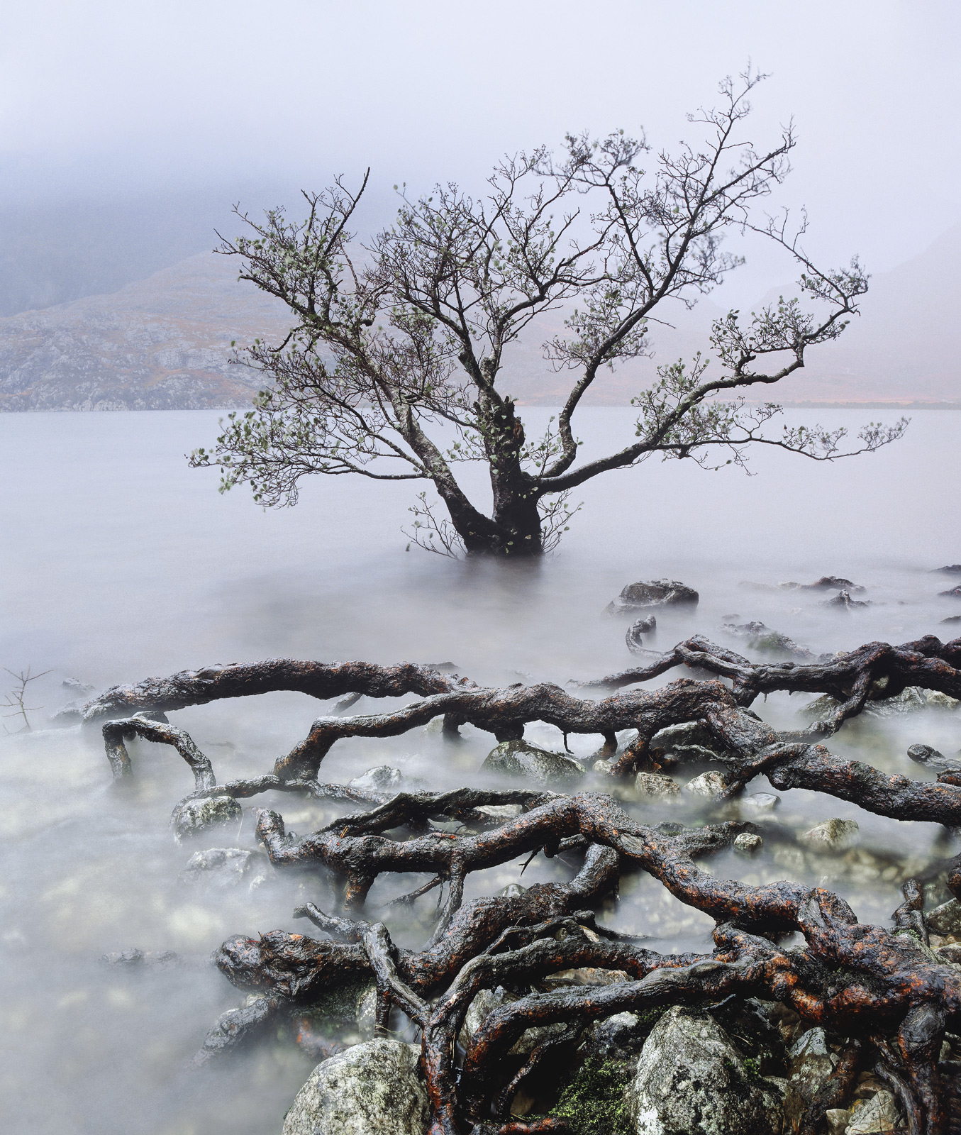 At the edge of Loch Maree on a pretty dreadful autumn afternoon I saw this water logged tree and the roots of another exposed...