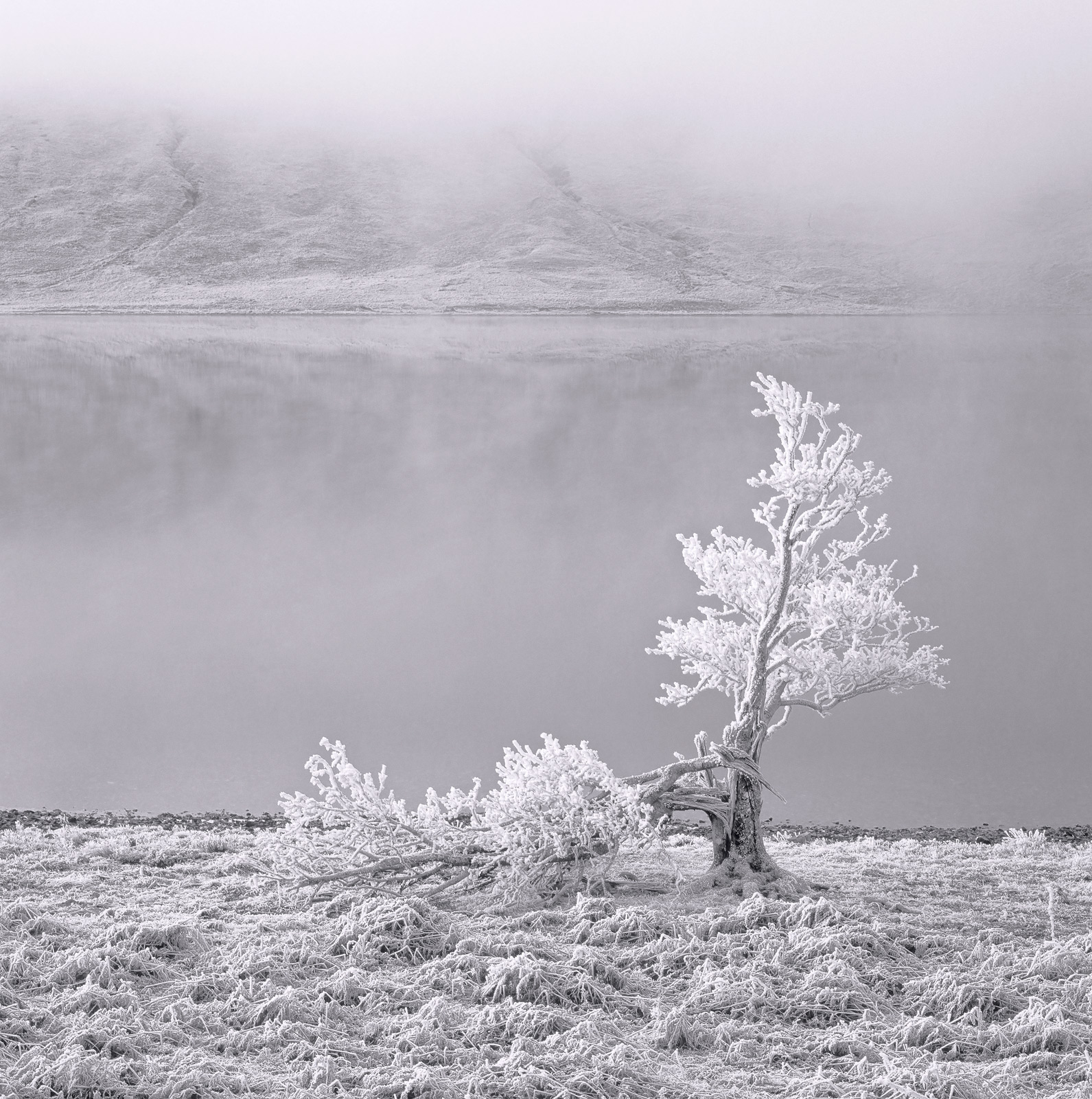 An old tree allegedly struck by lightning and suffering the effects of severe frost damage stands alone at the edge of refridgerated...