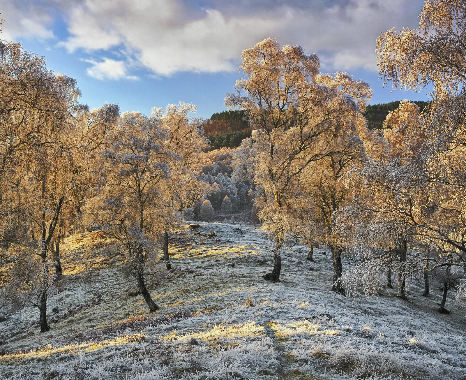 A golden cloak of backlit silver birch trees thickly coated with hoar frost diffuses the setting sun turning them to drizzled...