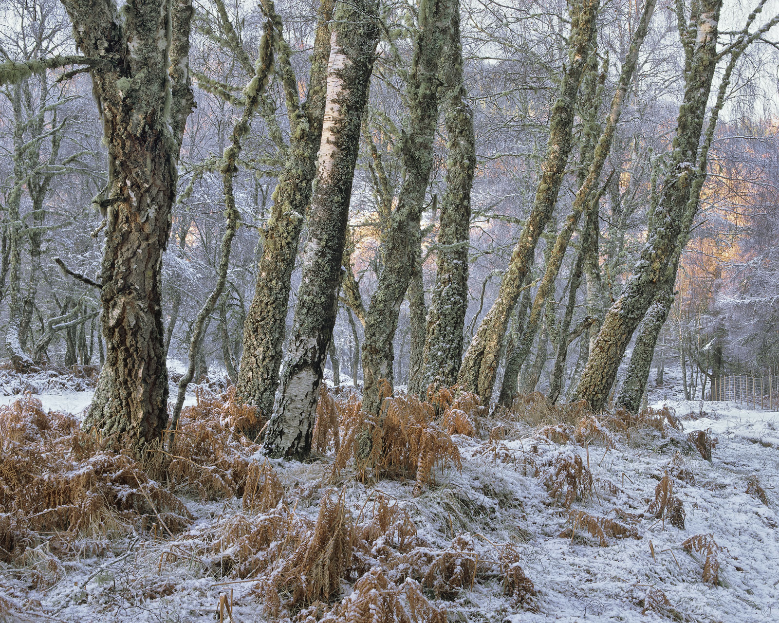 A delightful birch grove at the edge of Loch Achilt peppered with snow over trunks and bracken. Thesoft light of...