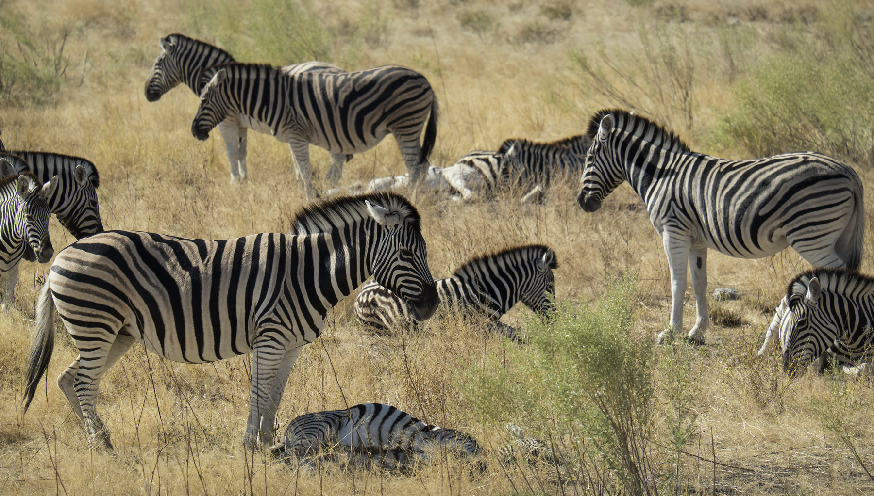 Zebra Crossing 2, Etosha, Namibia, Africa, herd, separated, neighbour, stood, basked, directions, photo
