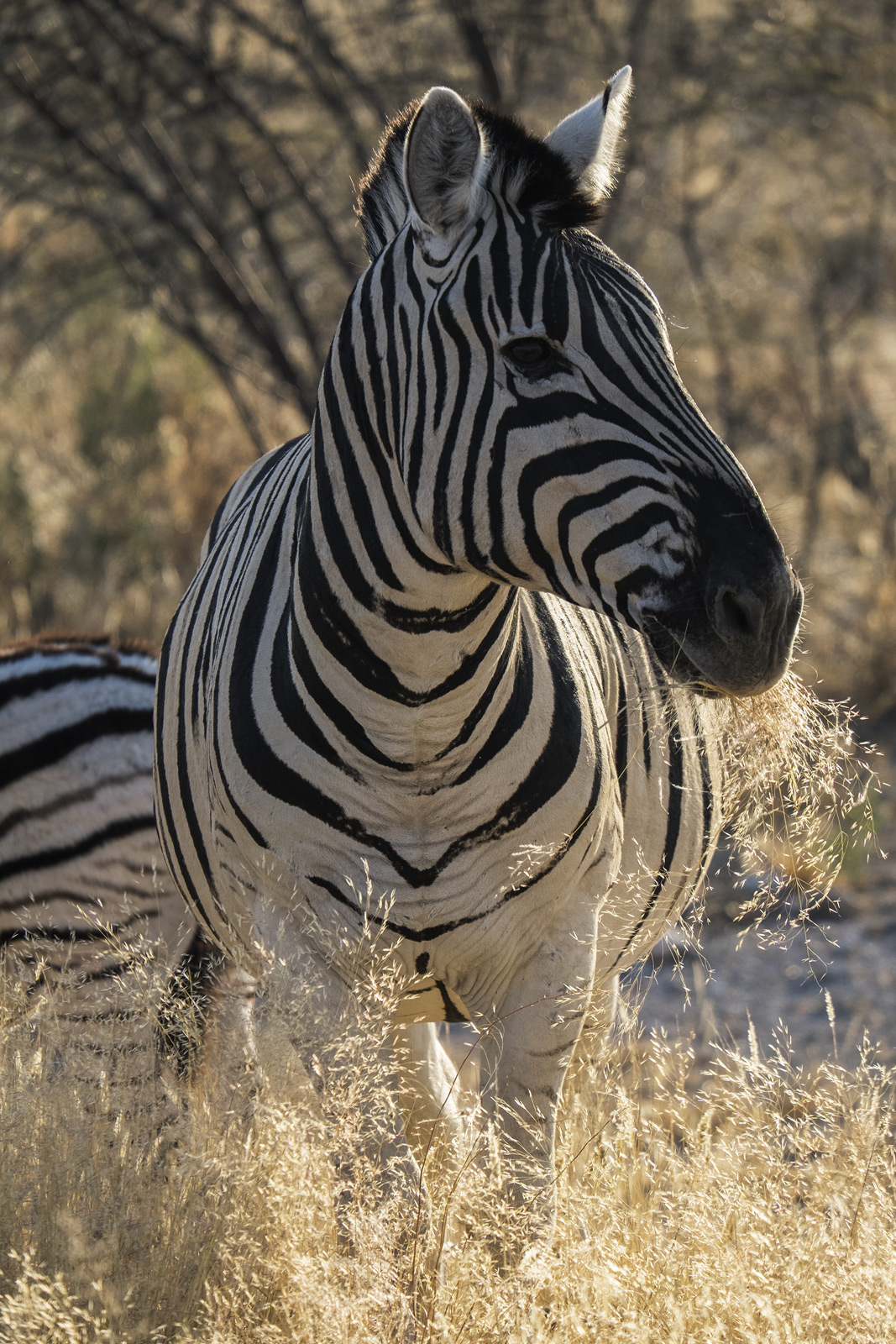This gorgeous group of zebra were hanging by the roadside shortly after sunrise when the light was at its absolute finest. They...