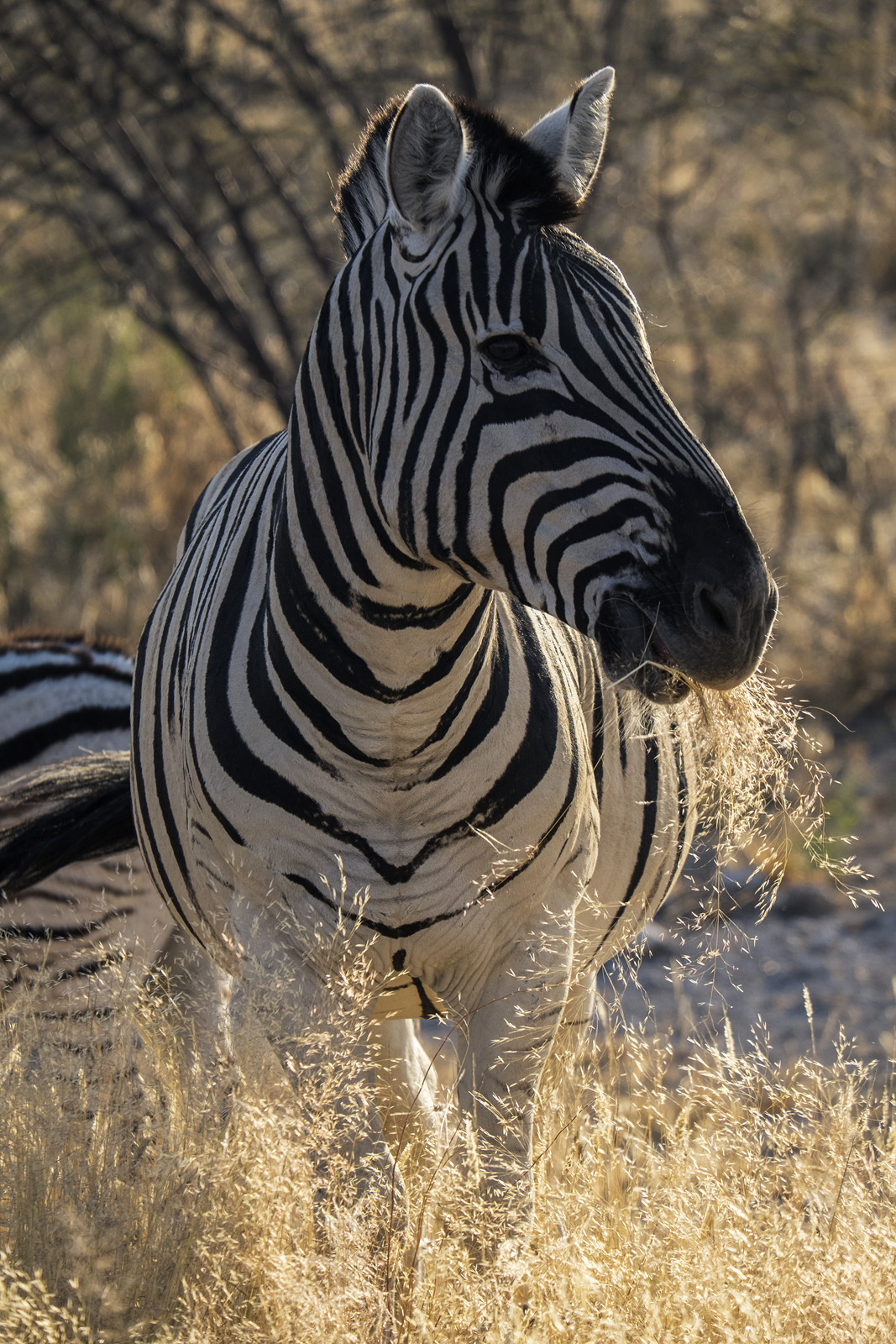 group, Zebra, gorgeous, roadside, sunrise, light, rim lighting, backlight, grass, un-concerned, head, ears, photo
